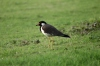 Red wattled lapwing