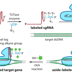 When Click chemistry is combined with CRISPR-Cas9technology